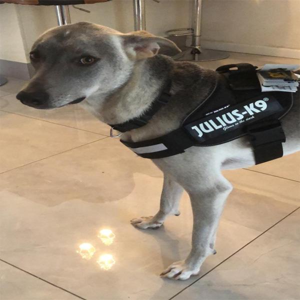 JULIUS רתמת הולכה שחורה ג'וליוס לכלב בינוני וגדול